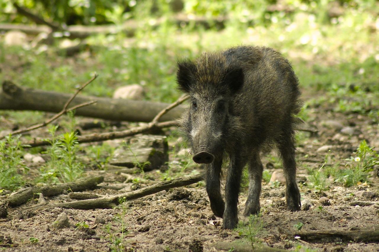 Schweini